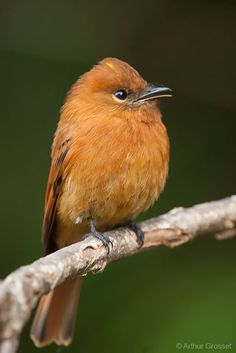 Cinnamon Flycatcher - Pyrrhomyias cinnamomeus | by arthurgrosset