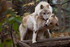 """""""Arktischer Wolf"""" by Thomas Krüger, via 500px."""