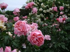 Growing Roses - Your Foolproof Guide to Rose Care and How to Grow Roses