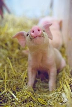 I am a BABY PIg. Mini, micro, teacup pigs are NOT breeds. Pigs that STAY SMALL Do NOT exist . Please educate yourselves before taking the responsibility of buying a pig! Animals And Pets, Funny Animals, Cute Animals, Baby Farm Animals, Teacup Pigs, Cute Piggies, Baby Pigs, Baby Goats, Cat Dog