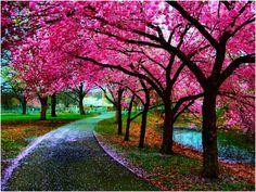 Spring Blossoms Kyoto, Japan