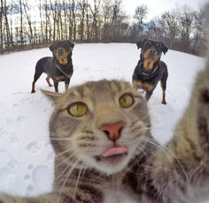 犬たちと一緒に自分撮りをする猫02