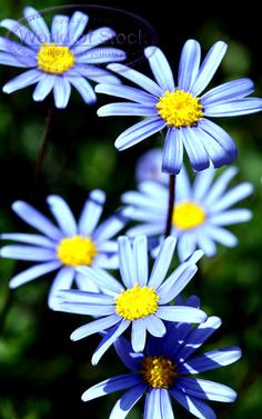 daisy flowers   Stock Photo titled: Blue Daisy Flowers, unlicensed use prohibited