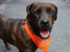 "SAFE! - 09/15/14  Manhattan Center -P   BROWNEE   ID # is A1013194.  Spayed female br brindle pit bull.  About 2 YRS **IN MEMORY OF THOSE THAT DIED, $150 DONATION TO THE NEW HOPE RESCUE THAT PULLS**  9/6/14  OWN ARREST. ***MAGNIFICENT BROWNEE NEEDS A COMPANION..COULD THAT BE YOU??***Well cared for ~ Good leash manners ~ Likely housetrained ~ AWESOME BEHAVIOR RATINGS ~ Dog friendly ~ Low key & calm ~ Dog & Cat friendly ~ WHAT'S NOT TO LIKE - run don""t walk for this sweetheart!!!"