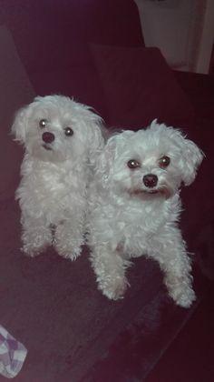 Hunde Foto: Petra und Scotty und Sammy - Wenn der Vater mit dem Sohn Hier Dein Bild hochladen: http://ichliebehunde.com/hund-des-tages  #hund #hunde #hundebild #hundebilder #dog #dogs #dogfun  #dogpic #dogpictures
