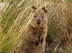 幸せそうな顔をさせたら世界一、オーストラリア固有種「クアッカワラビー」