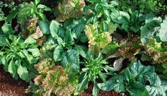 Vegetable garden planting strategies like interplanting, succession planting, trap cropping, companion planting, and vegetable crop rotation are all organic gardening methods designed to give you the highest yields over time, without chemicals.