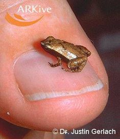 ˚Gardiners Tree Frog