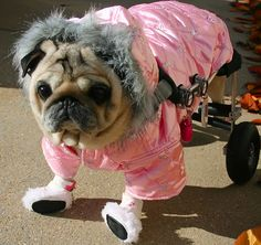 Fashionista Roller Pug - another Jen picture. Happy last month of being single!