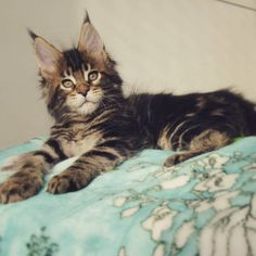 Maine coon and ragdoll mix