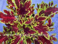 Houseplants That Filter the Air We Breathe Coleus Mariposa Welcome To The Rosy Dawn Gardens Coleus Images Gallery Black Leaves, Pink Leaves, Coleus Care, Garden Soil, Gardening, Planting, Plant Catalogs, Orange Leaf, Rosy Pink