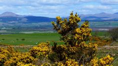 Gorse in bloom, Scotland!