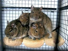 Degu make great pets, and have some unique qualities that make them better pets than other rodents: They are diurnal (awake in the day), highly sociable, bond easily with their owners/other degus, have a furry tail, and eat only plants!