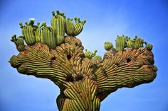 crested saguaro by Dan Sorenson on flickr