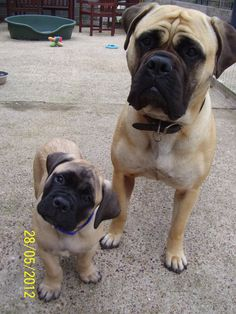 chubby #bullmastiff pup with her mom :) love it when puppies tilt their head to the side! soo cute!