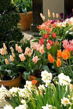 Tulipanes en maceta