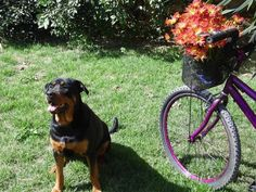 All the things we all like about the Loyal Rottweiler Puppy All die Dinge, die wir an dem Loyal Rottweiler Welpen mögen Fakten Rottweiler Facts, Rottweiler Training, Rottweiler Breed, Rottweiler Love, Dog Bike Leash, Dog Bike Trailer, Biking With Dog, German Dog Breeds, Funny Dogs
