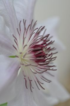 clematis Love Flowers, Colorful Flowers, White Flowers, Garden Maintenance, Hollyhock, Macros, Clematis, Flower Power, Color Schemes