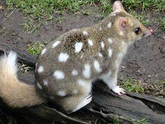 spotted quoll, Tasmania.