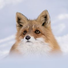 Red Fox by Max Sohma - National Geographic Your Shot