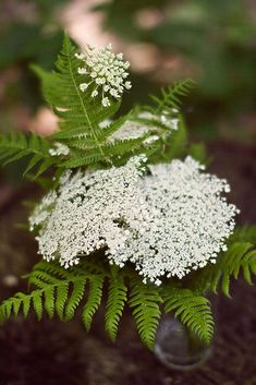 Queen Anne's Lace growing amid wild ferns at Red River Gorge, Kentucky