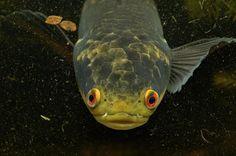 Snakehead Snakehead Fish, Freshwater Fish, Predator, Pisces, Spectrum, Fresh Water, Aquarium, Wildlife, Colorful