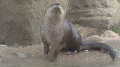 This is one of the most adorable creatures in the world. Utah has two otters named Nick and Nellie. They are both beautiful