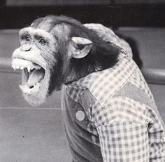 Danny II was born in the wild around 1964 or so. He performed for the Detroit Zoo from 1968 to 1976, when he became too aggressive for the chimp shows and was sold to an animal dealer that supplied chimpanzees to research labs.