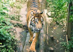 Tiger at the Ueno Zoo