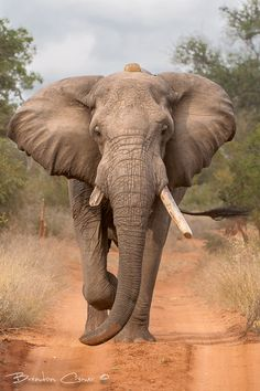 'Determination' - photo by Brendon Cremer, via 500px; A large bull elephant in musth (increased testosterone) was determined to follow the scent of a herd of breeding lady elephants.