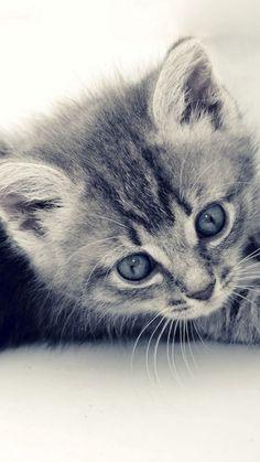 Cute Cat Kitten Macro Gray Background iPhone 6 wallpaper