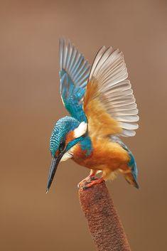 Pretty Birds, Beautiful Birds, Animals Beautiful, Cute Animals, Small Birds, Colorful Birds, Exotic Birds, Exotic Pets, Kingfisher Bird