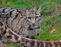Clouded Leopards - Head and Tail!