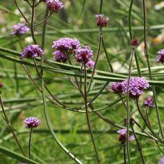 Verbena bonariensis, Verveine de Buenos Aires