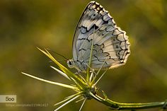 butterfly by ismail062004. Please Like http://fb.me/go4photos and Follow @go4fotos Thank You. :-)