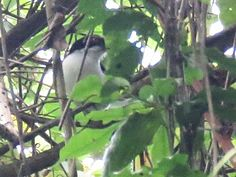 Bird Photos, Birding Sites, Bird Information: GREAT ANTSHRIKE, ROAD FROM ASA WRIGHT NATURE CENTR...