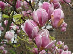 Magnolia-Soulangeana-Goblet-Shape-Flowers flowers mid spring