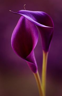 Purple Calla Lily: Purple calla lilies are royal flowers. The deeper purple calla lilies stand for power. Exotic Flowers, Amazing Flowers, My Flower, Purple Flowers, Beautiful Flowers, Lilies Flowers, Simply Beautiful, Beautiful Pictures, Stock Flower