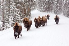 7 Reasons to Visit Yellowstone National Park in the Winter: The Wildlife