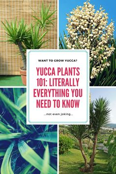 Yucca Plant Care Tips: Growing, Pruning, Propegating, and Caring for Yucca Plants Yucca Plant Care, House Plant Care, Flowers Perennials, Planting Flowers, Gardening For Beginners, Gardening Tips, Popular House Plants, Plant Information, Low Maintenance Plants