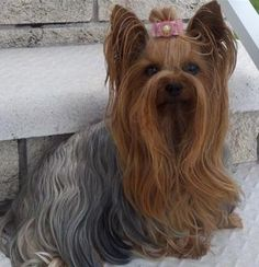 This is what my yorkie will look like in a few years and her name is Sallee.