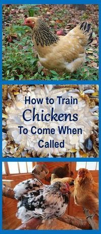 So you can let them out and get them in anytime you want. Or call them to safety when predators lurk. Or when you have new pullets free ranging with old flock, and need to get each flock to its own coop. Chicken Coup, Diy Chicken Coop, Backyard Chicken Coops, Chicken Life, Chicken Eggs, Chicken Types, Farm Chicken, Chicken Treats, Chicken Feed
