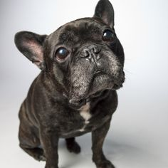 Sophie, an 8 year old rescued French Bulldog. Unexpected Tail: A vet bill to remove a mast cell tumor her dad found while petting her one evening. Thanks to Petplan, she's now cancer free.