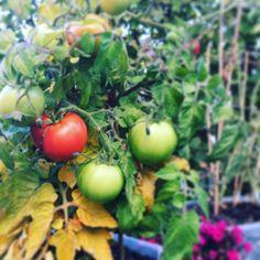 Tomatoes...mmmhmm...