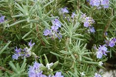 Rosemary – Natural Plants that Prevent Nuclear Radiation