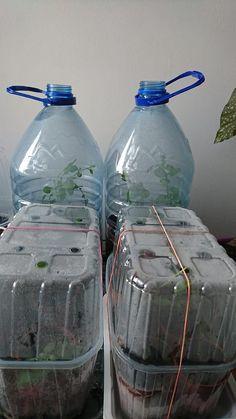 Garden Projects, Bonsai, Glass Vase, Water Bottle, Container, Plants, Gardening, Anna, Veggies