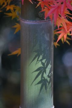 Bamboo tree red leaves shadow