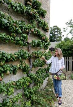 pear espalier makes picking in autumn a piece of cake