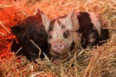 My two Kune Kune pigs as babies!