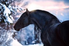 Cute Horse Pictures, Beautiful Horse Pictures, Most Beautiful Horses, Horse Photos, Animals Beautiful, Horses In Snow, Black Horses, Cute Horses, Pretty Horses
